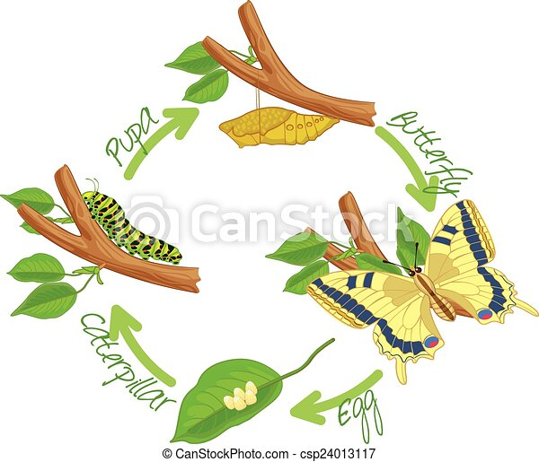 clip art vecteur de les m tamorphose papillon oeuf chenille pupa csp24013117. Black Bedroom Furniture Sets. Home Design Ideas