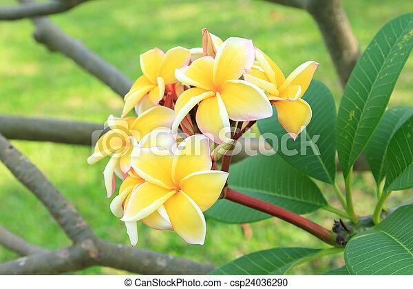 Yellow plumeria flowers - csp24036290