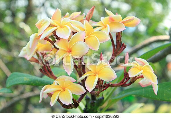 Tropical flowers frangipani (plumeria) - csp24036292