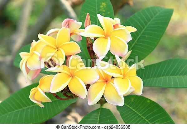 Yellow plumeria flowers - csp24036308