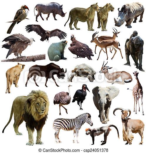 elszigetelt, állatok, oroszlán, Más, afrikai, fehér, hím - csp24051378