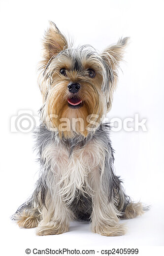 picture of a seated puppy yorkshire terrier - csp2405999