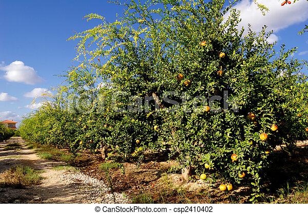 photo de grenade arbres fruits pomegranate arbres culture csp2410402 recherchez. Black Bedroom Furniture Sets. Home Design Ideas