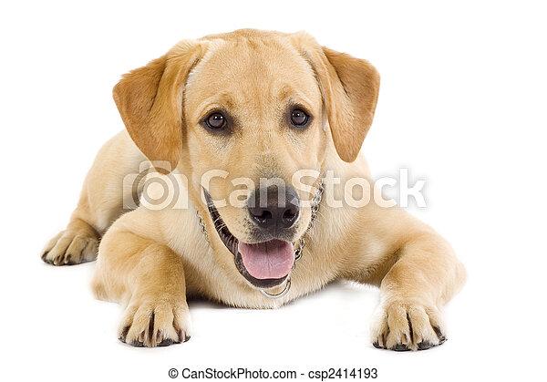 seated Puppy Labrador retriever cream - csp2414193