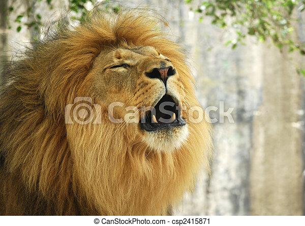 Lion Roaring - csp2415871