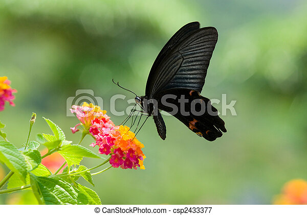 flying swallowtail butterfly feeding on colorful flowers - csp2433377