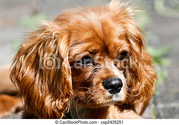 Ruby (Tan) Cavalier King Charles Puppy - csp2435251