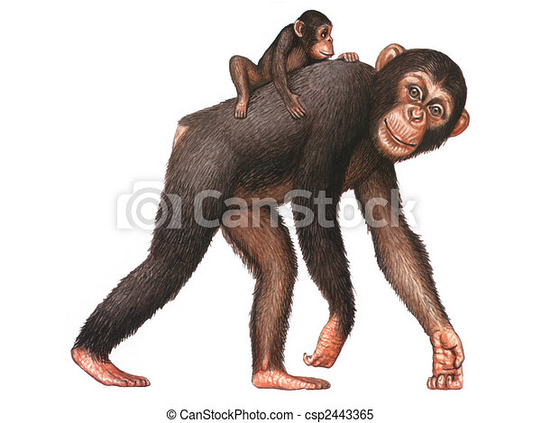Chimpanzés, macaco,  animal - csp2443365