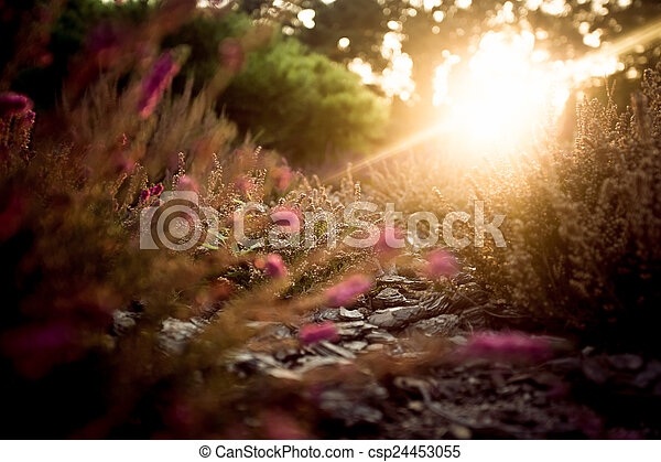 sunset over lavender field at summer evening