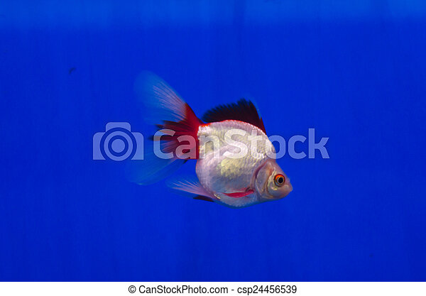 Photos de poisson rouge aquarium poisson rouge dans for Aquarium poisson rouge taille