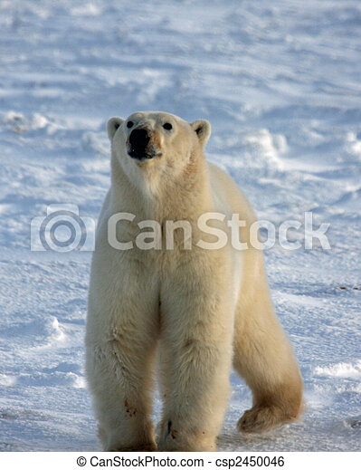 Polar bear sniffing the air on Hudson Bay - csp2450046