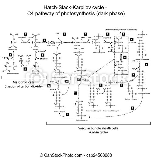 Scheme of C4 pathway - photosynthes