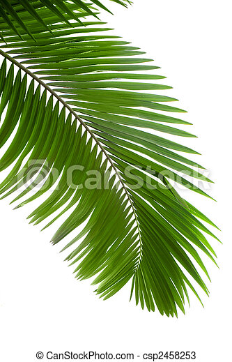 Leaves of palm tree  - csp2458253