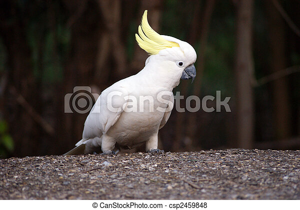 A photo of cockatoo. - csp2459848