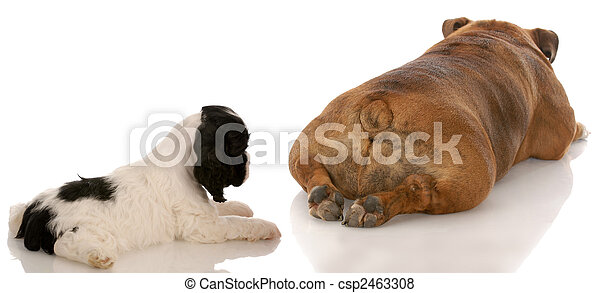 animal behavior - cocker spaniel puppy looking at bulldogs backside - csp2463308