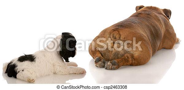 animal behavior - cocker spaniel puppy looking at bulldogs backside - csp2463308