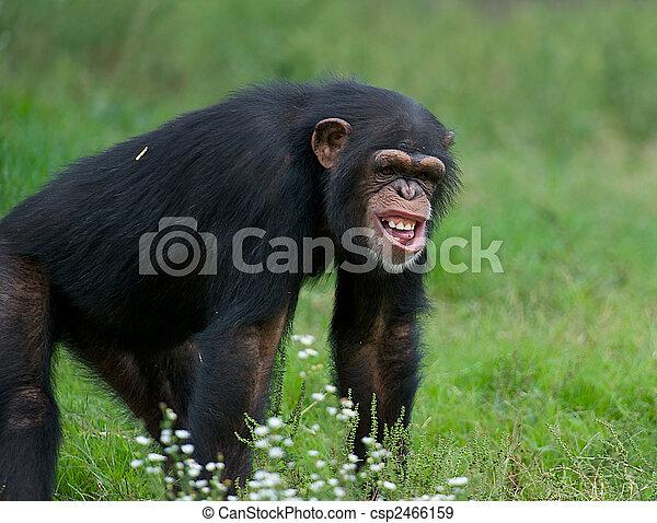 Adult Chimpanzee - (Pan troglodytes) - csp2466159