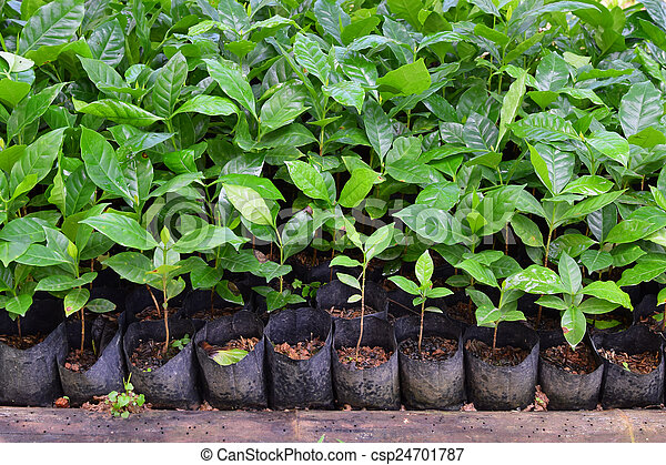 group of growing plant coffee tree royalty free picture csp24701787. Black Bedroom Furniture Sets. Home Design Ideas