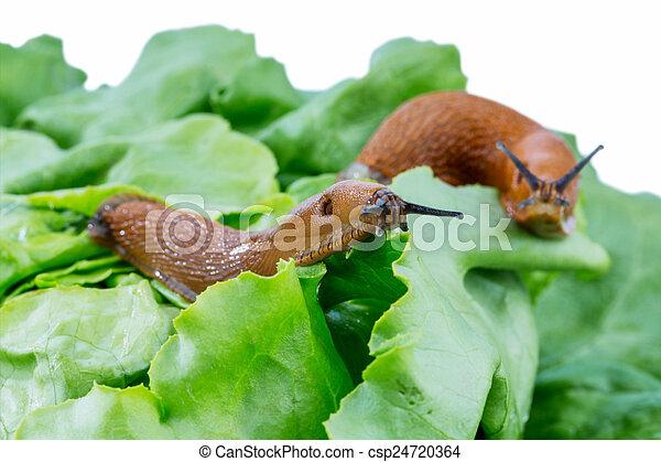 Stock de imagenes de lechuga hoja caracol un babosa for Caracol de jardin alimentacion