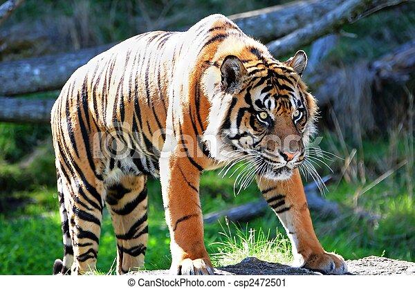 Royal Bengal Tiger - csp2472501