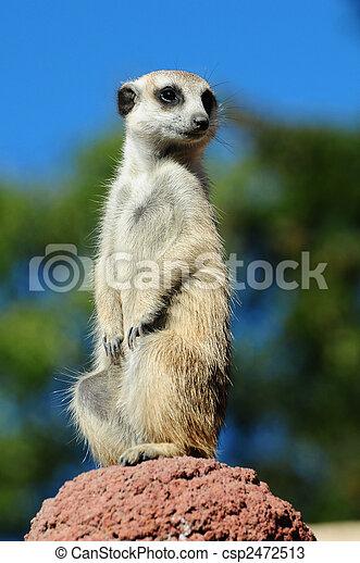 Meerkat portrait - csp2472513