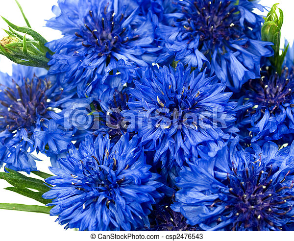 blue cornflower or bachelors button Centaurea cyanus - csp2476543