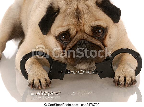 dog breaking the law - pug laying down with handcuffs and keys - csp2476720