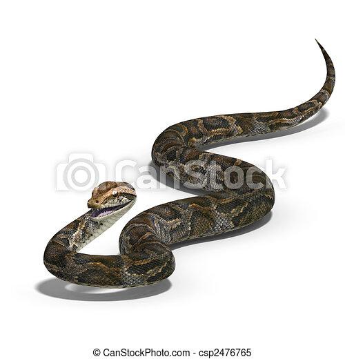 royal python - csp2476765