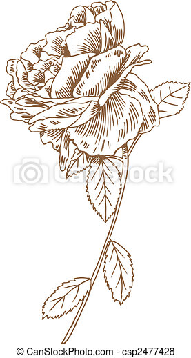 Rose Stem Drawing - csp2477428