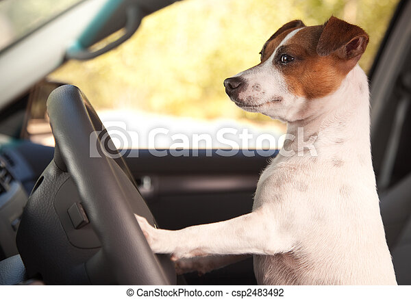 Jack Russell Terrier Enjoying a Car Ride - csp2483492