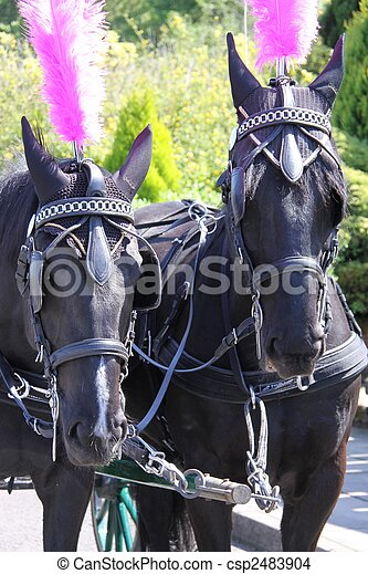 Two horses with bridle and blinkers - csp2483904