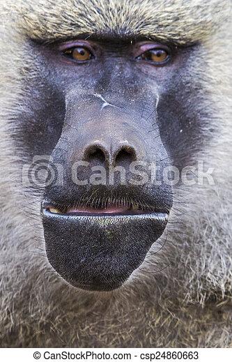 Tierwelt, tansania,  -,  national,  Park,  tarangire, pavian,  reserve - csp24860663