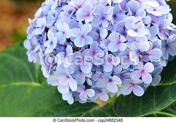 Blue hydrangea - csp24882348