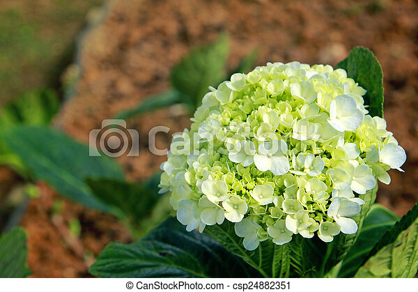 Green hydrangea - csp24882351