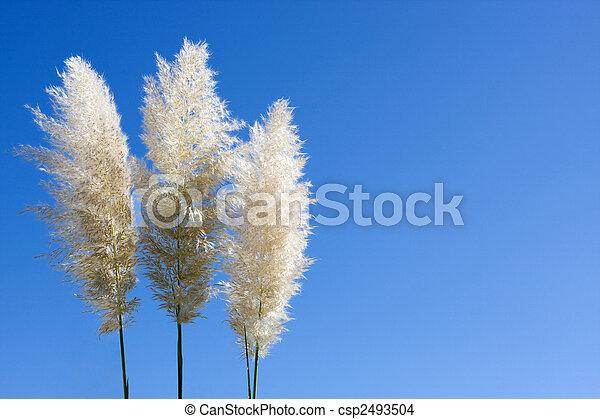 Stock foto van pluimen van pampas gras drie pluimen pampas gras csp2493504 zoek - Blauwe hemel kamer ...