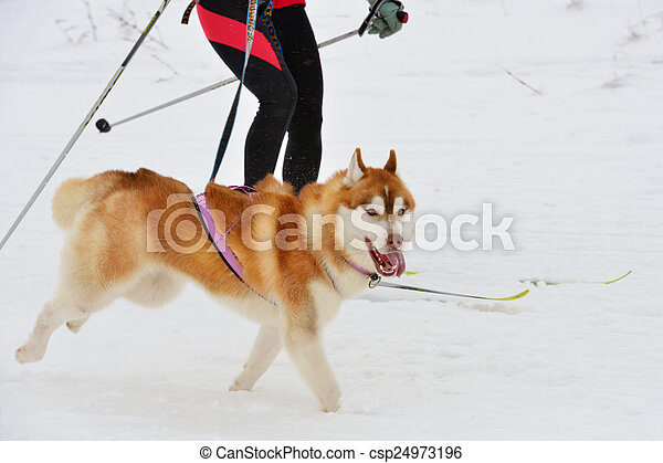 Husky dog during skijoring competition - csp24973196