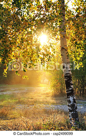 birch trees in a summer forest - csp2499099