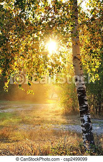 birch trees in a summer forest - csp2499099