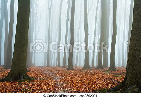 Misty autumn beech forest - csp2502001