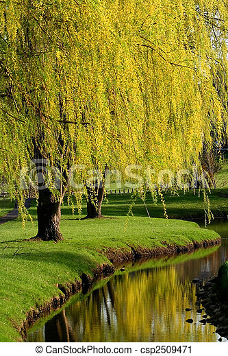 Willow Trees - csp2509471