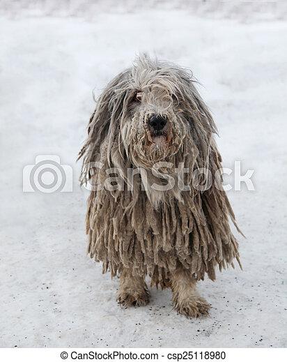 Images de cheveux, puli, chien, rasta - beau, Puli, chien