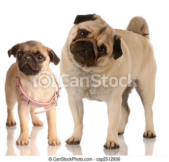 growth - pug standing beside puppy with collar that is too big - csp2512936