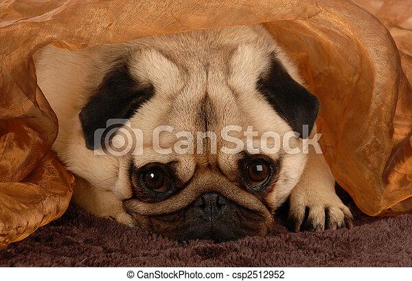 adorable pug hiding under brown blanket - csp2512952