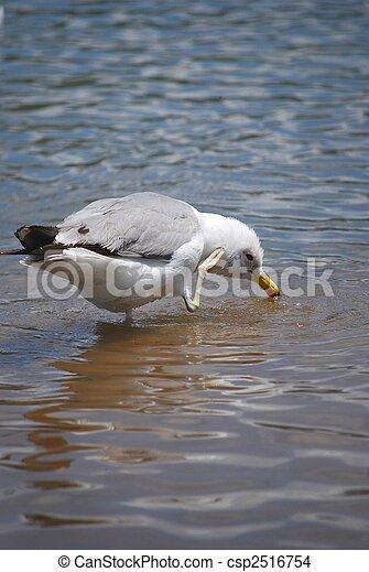 sea gull drinking water  - csp2516754