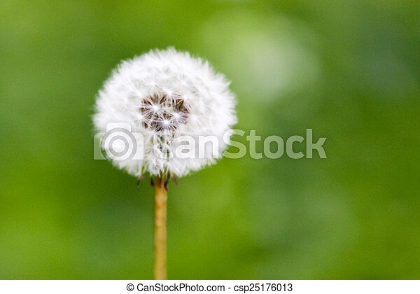 Dandelion seed head clock isolated on green background