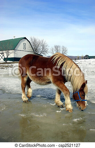 Horse Drinking Water from Melted Ice and Snow - csp2521127