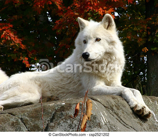 Arctic Wolf  Laying on a Rock - csp2521202
