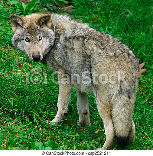 Young Gray Wolf - csp2521211