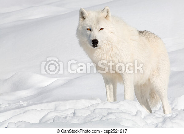 Arctic Wolf in the Snow Looking at the Camera - csp2521217