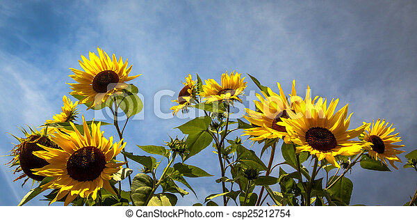 Stock Images of Sunflowers Stand Tall Against a Blue Sky - Sunflowers Stand ...